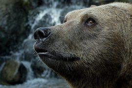 micco-aiuta-orso-marsicano