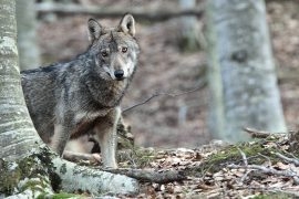 il-ritorno-del-lupo-nelle-foreste-appenniniche