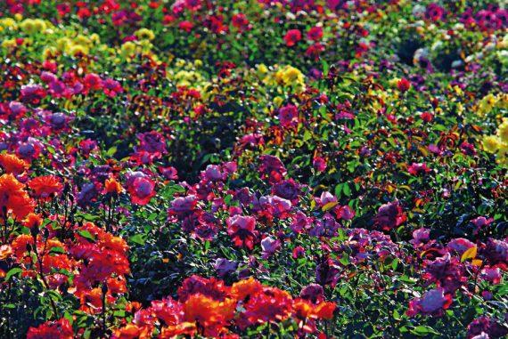 rose-barni