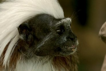 scimmia-caissara