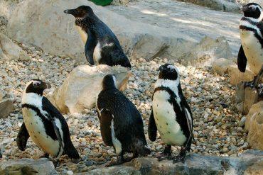 I pinguini che arrivano dal caldo