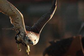 Vola con i falchi