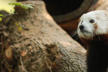 Benarrivato Panda