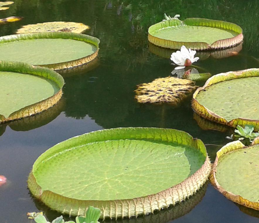 victoria amazonica giardino garzoni flowershow estate