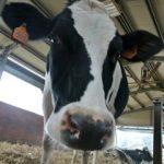 mucca-gelateria-monterosa