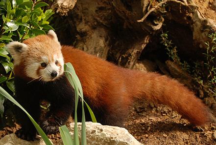 panda minore zoo pistoia
