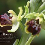 orchidee-selvatiche