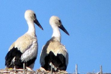 cicogna-bianca-discoverpistoia