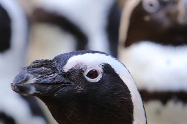 Giardino Zoologico-pinguini sudafricani