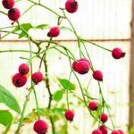 rose-barni-bocciolo-discoverpistoia