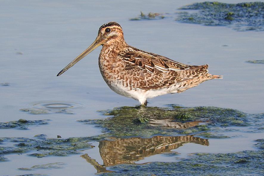 Oltre 15.000 uccelli acquatici svernanti nel Padule di Fucecchio
