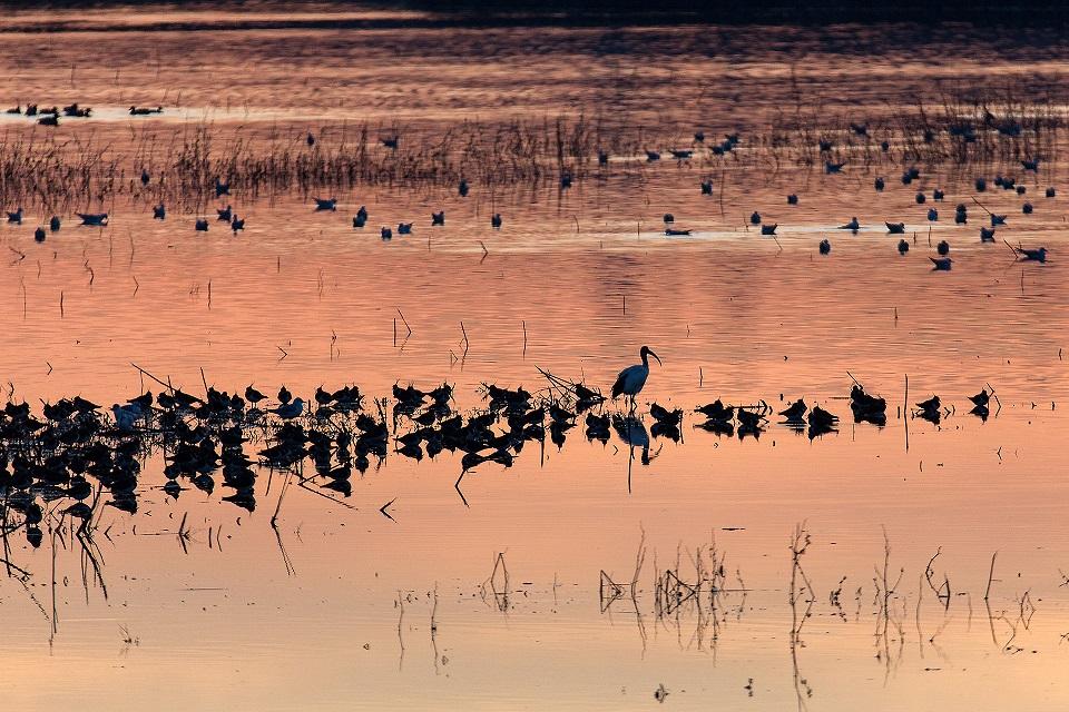 Più di 11000 uccelli acquatici svernano nel Padule di Fucecchio