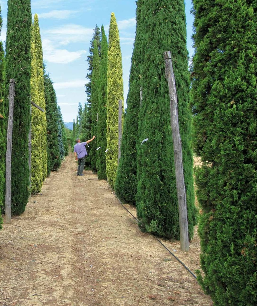 L'Arboreto di cipressi